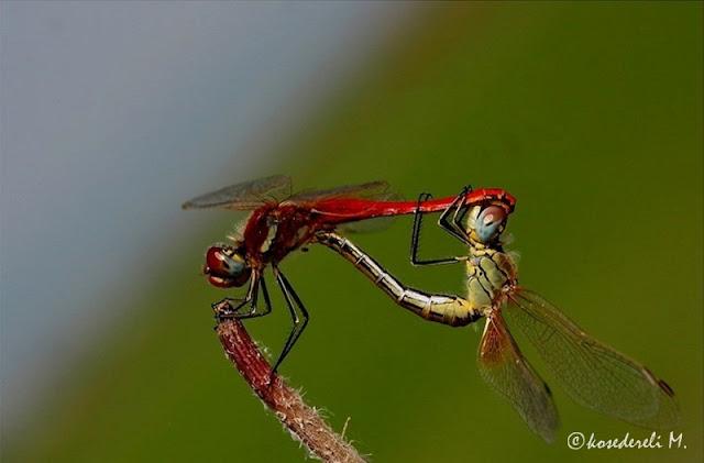yusufçuk böceği çiftleşme
