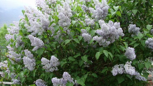 Piante e fiori lill dai grappoli profumati for Pianta ornamentale con fiori a grappolo profumatissimi