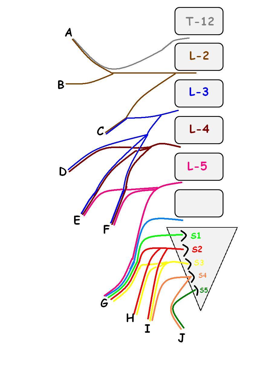 Plexo lumbosacro y coccígeo | anatomiahumana.info