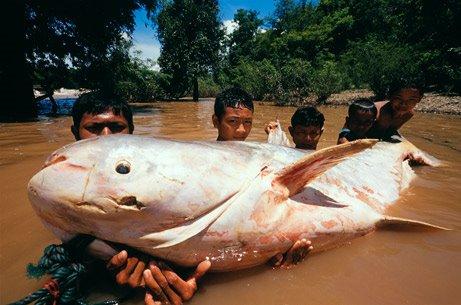 Gambar-gambar ikan sungai yang besar gila
