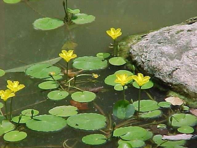 Peces y plantas ornamentales nymphoides peltata for Raices ornamentales
