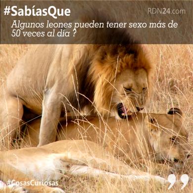 #SabíasQue algunos leones pueden tener sexo más de 50 veces al día ?