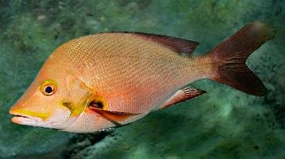 gambar ikan kakap - gambar ikan