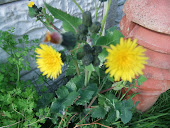 Smooth sow thistle Sonchus oleraceous