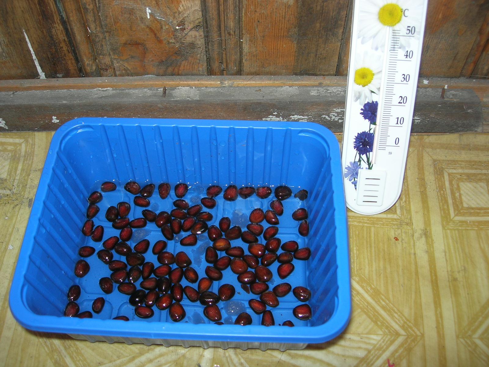 Выращивание кедра в домашних условиях 69