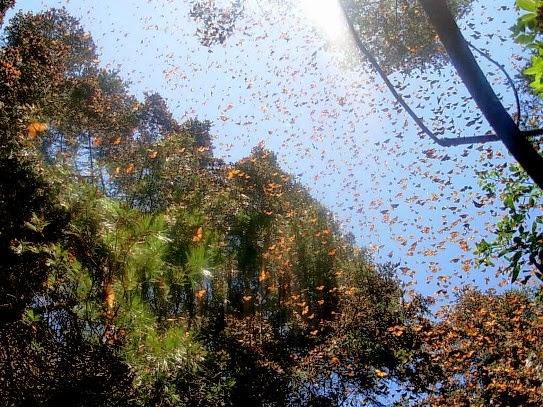 santuarios Mariposa Monarca México Reserva de la Biosfera