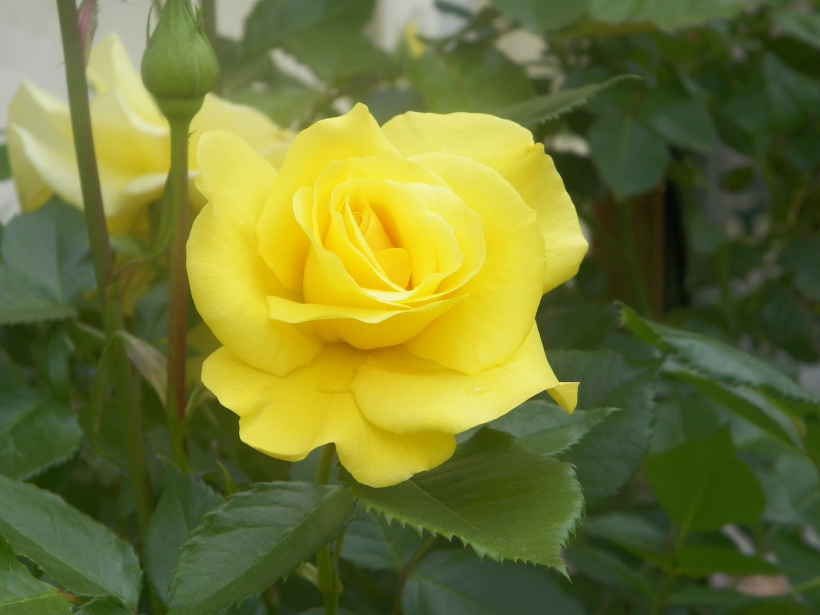 We have a yellow rose bush that is HUGE! It's not just any rose bush ...