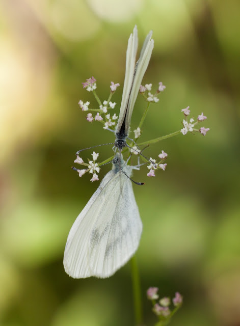 Wood Whites - Bury Ditches, Shropshire