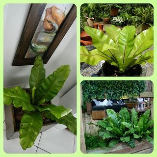 Plantas para dentro de casa - Asplênio