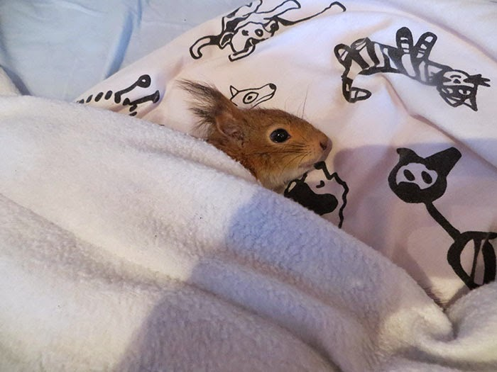 orphaned baby squirrel