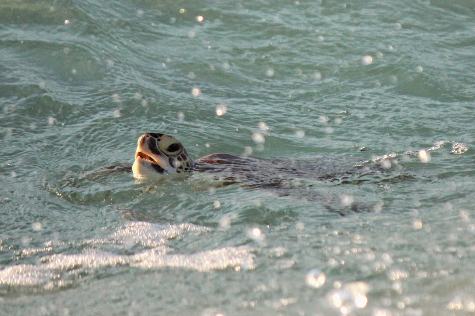 Pensacola Beach Green Sea Turtle in October~ Gulf Islands National Seashore