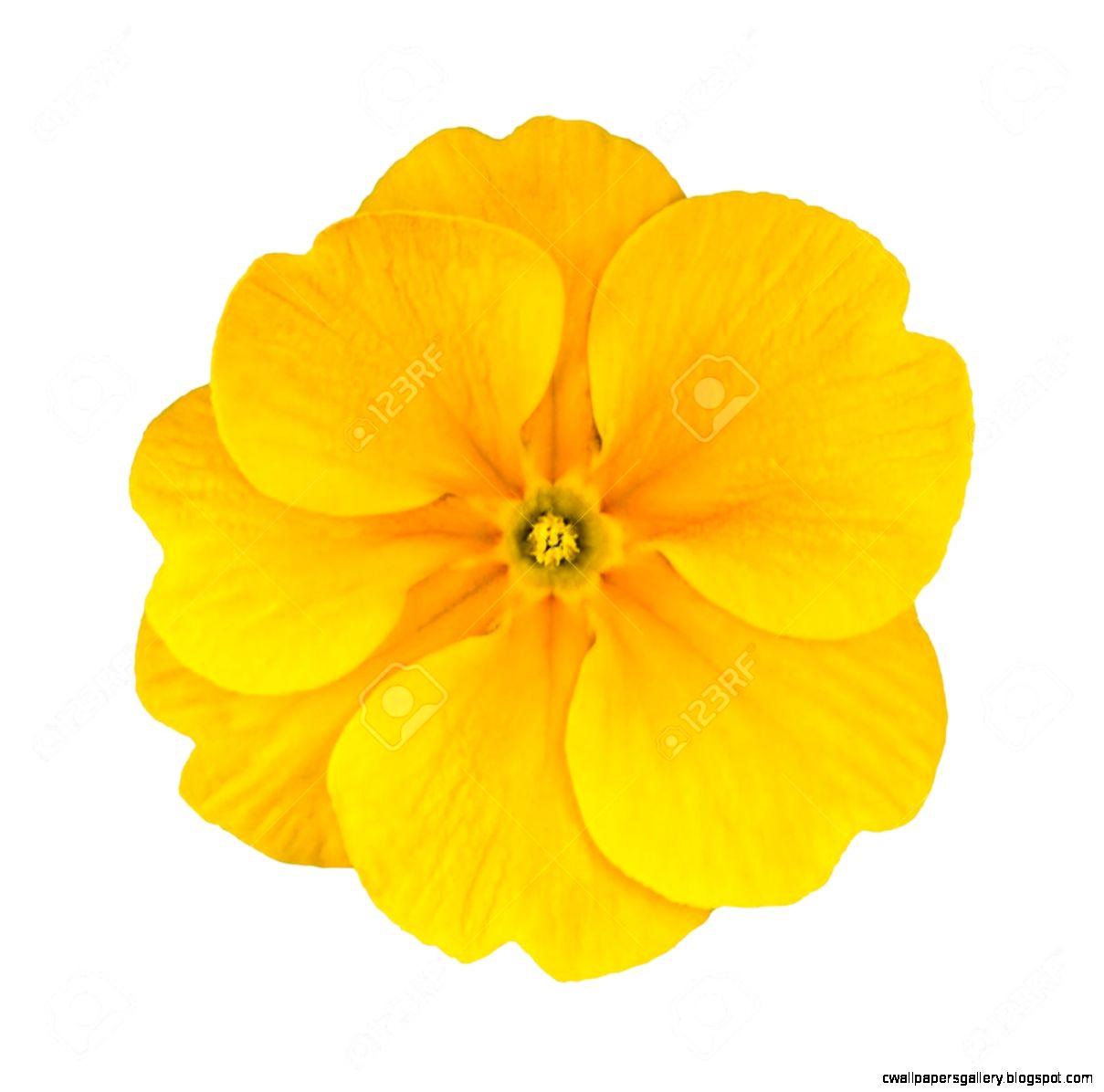Single Yellow Primrose Flower Isolated On White Background Macro