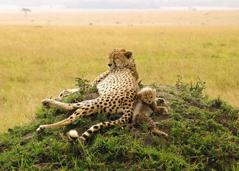 15. A mother cheetah and her tiny cub in Masai Mara National Reserve, Kenya. - 30 Animals With Their Adorable Mini-Me Counterparts