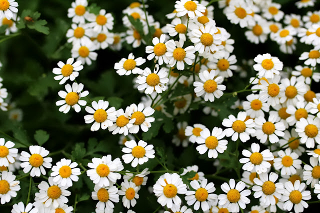 Patch of Daisies ~ Photo by ChatterBlossom #daisies #daisy #flowers