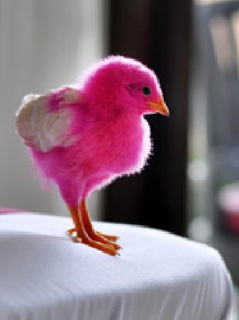Pink Chicken Panconpapaya En Twitter D Watermelon Wallpaper Rainbow Find Free HD for Desktop [freshlhys.tk]