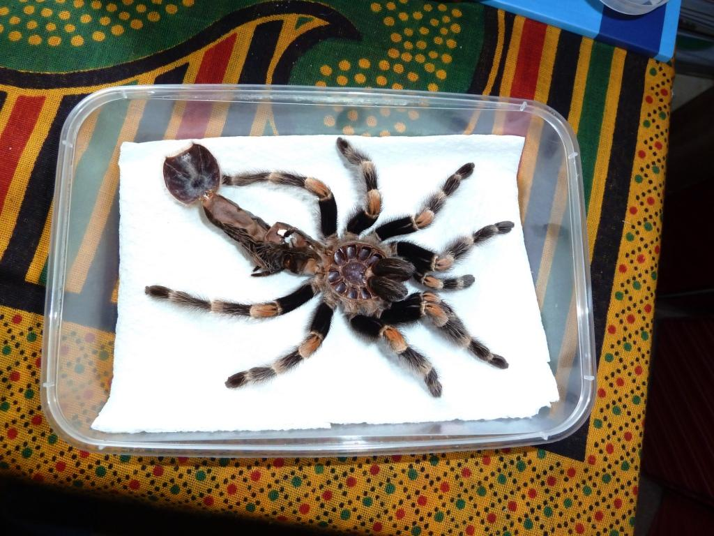 Dave Hubble\'s ecology spot: Tarantula anatomy I: the abdomen