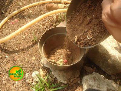 FOTO 2: Memasukan media tanah yang sudah dicampur 1/4 media pot