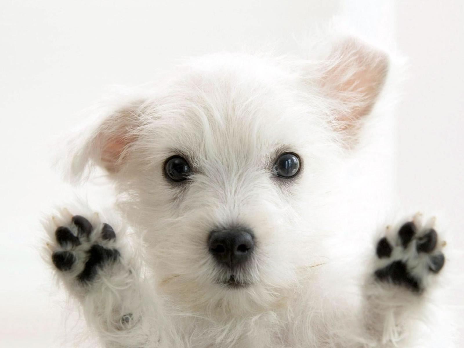 Cute Little White Dog Wallpaper