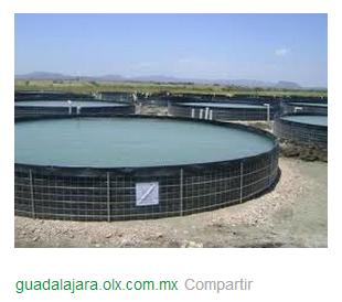 Cultivo tilapia estanques for Estanques para tilapia