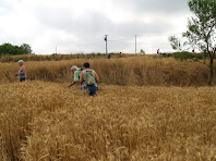 Camps de cereals al Serrat de Bussanya