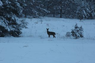 photo of whitetail doe in snow covered field