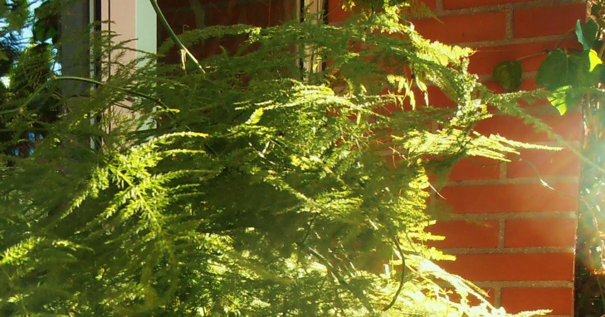 La ventana de javiruli plantas de interior 11 esparraguera de los floristas asparagus plumosus - Alegria planta cuidados ...