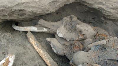 restos de mamut encontrado en rusia en setiembre 2012