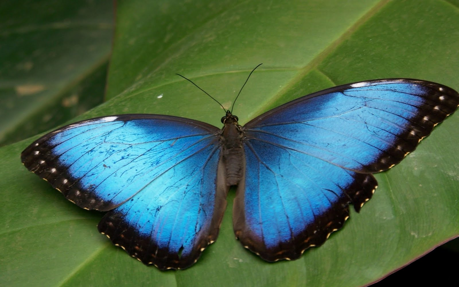 new blue butterfly pictures - photo #35