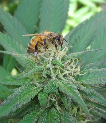 maconha cannabis medicinal