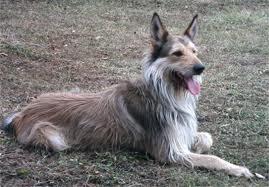 Picardy Shepherd