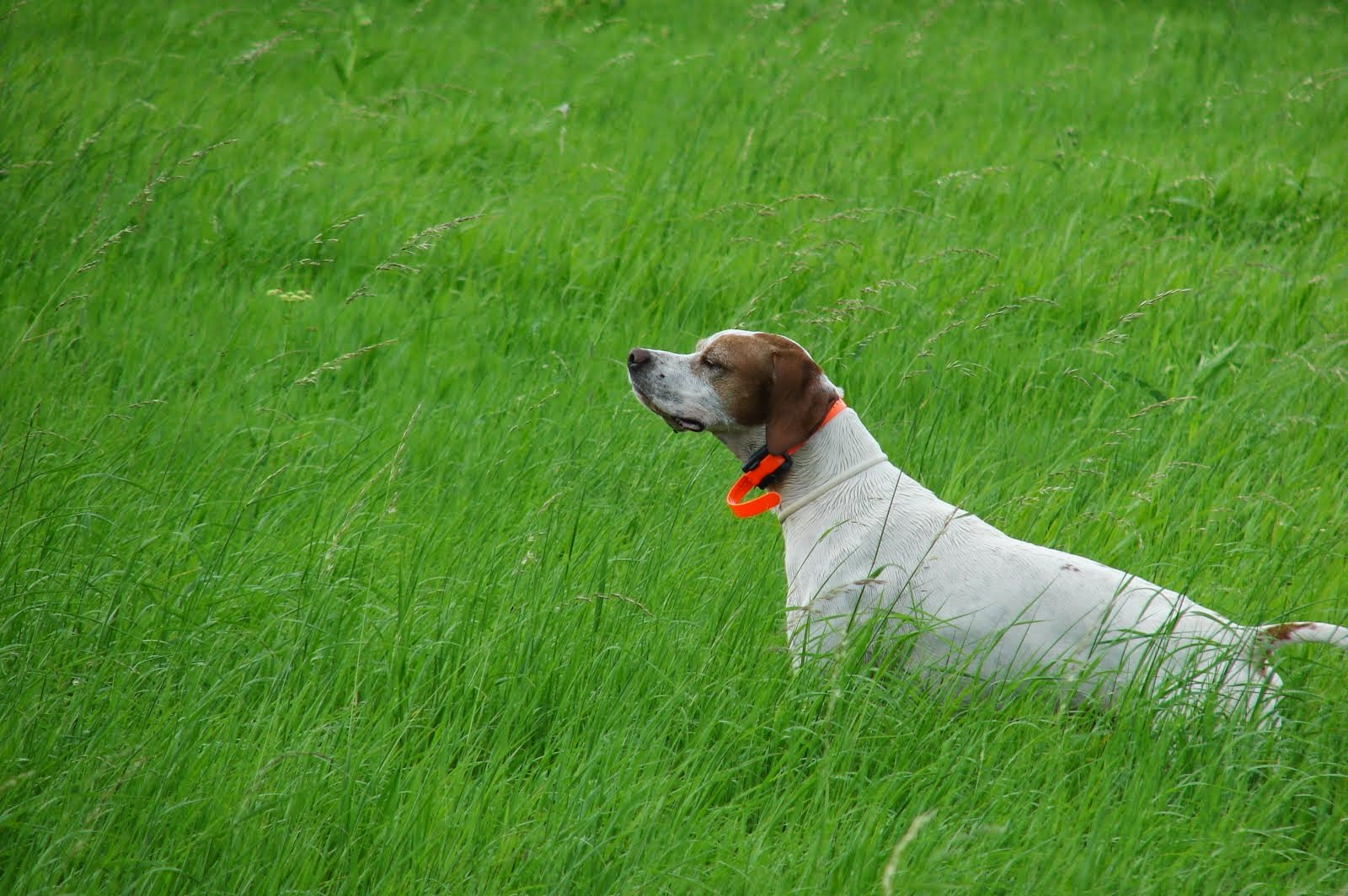 photos de chien de chasse pointer