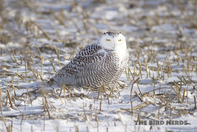 Snowy Owl sitting in a corn field in St. Catharines