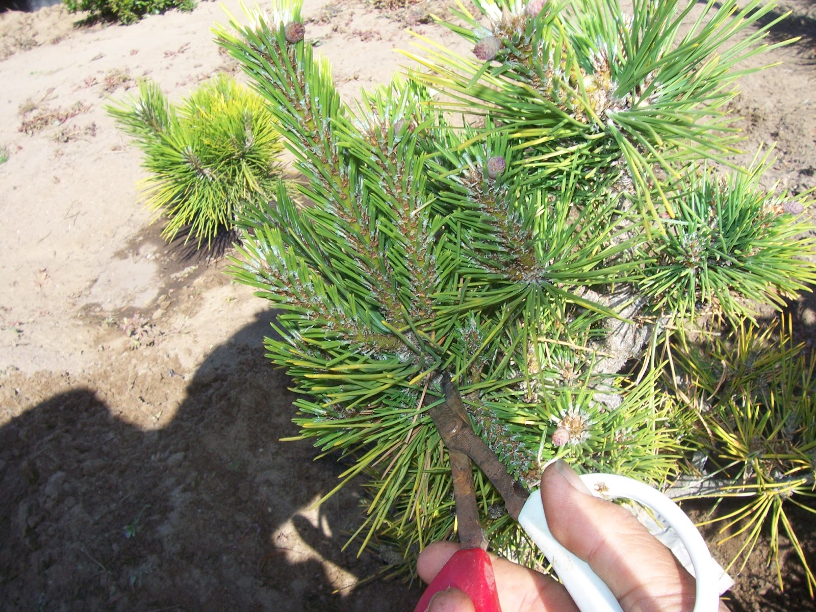 What39s Happening At Muranaka Bonsai Nursery Another Pine Air