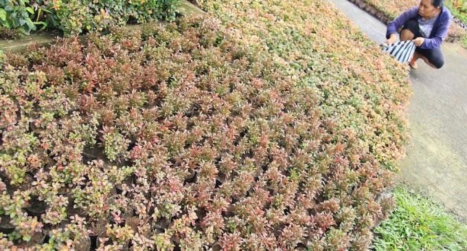 Jual pohon kerokot | merah | kuning | variegata | suplier tanaman