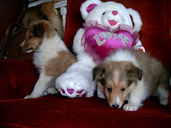 Sable and White Shetland Sheepdog puppies
