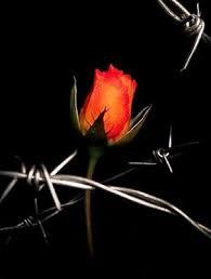 Os espinhos da Rosa