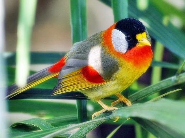 Burung Masteran Ronggolawe