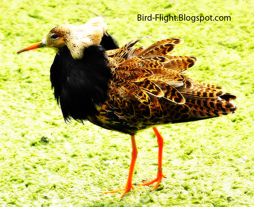 Bird Flight: Ruff