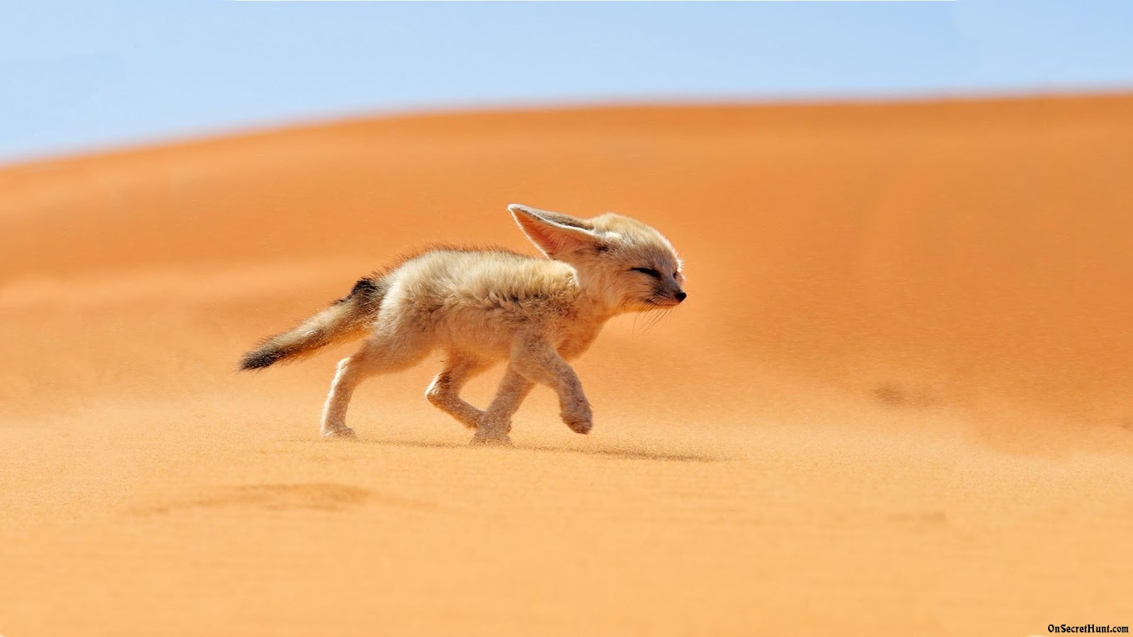 Hd fennec fox wallpapers fun animals wiki videos for And pictures