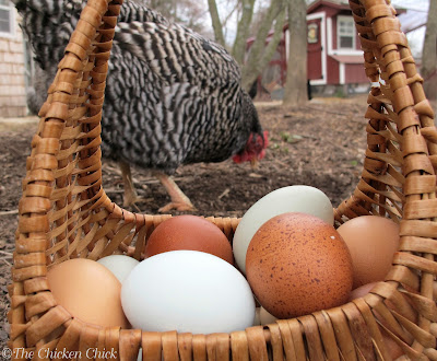 Eggs in Basket with Barred Plymouth Rock. The-Chicken-Chick.com