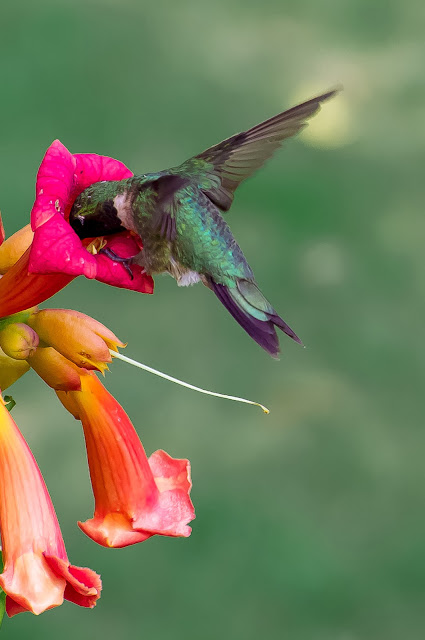 Busy Hummingbird for eating food