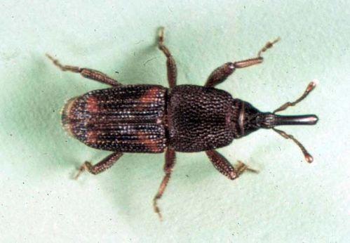 Kutu Beras (Rice Weevil)