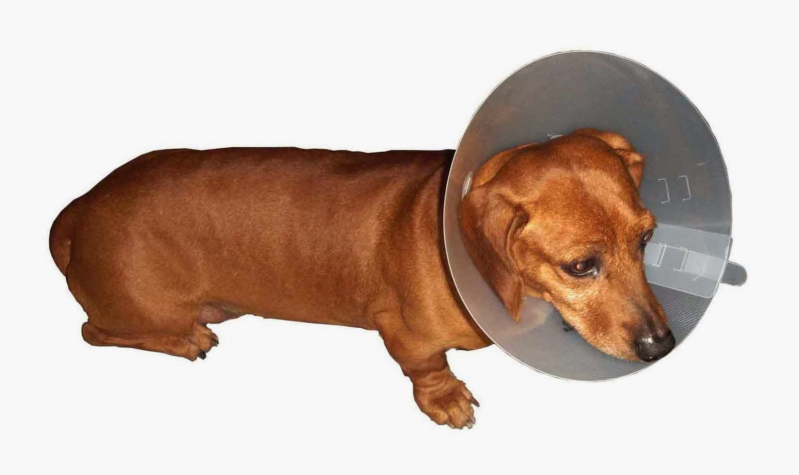 side view of an Elizabethan collar for wound healing
