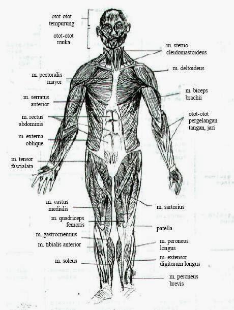 otot tampak depan