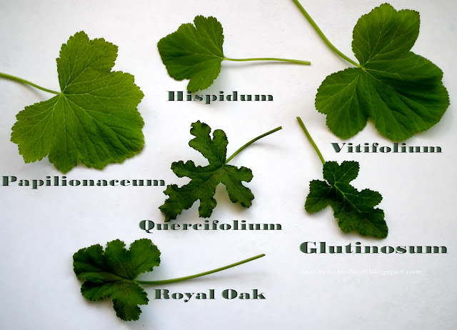 Various shapes of balsam scented pelargonium leaves
