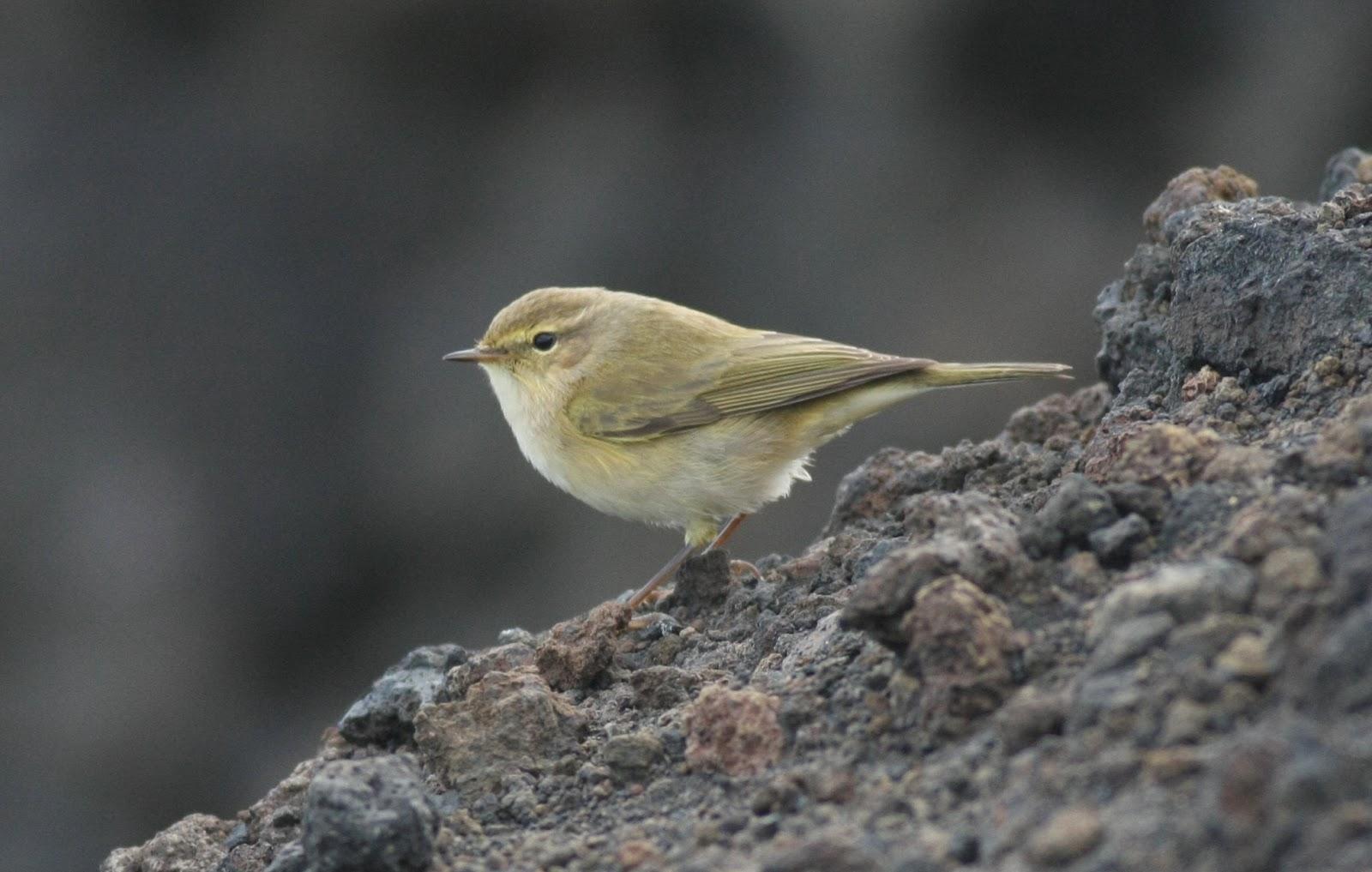 Birds Of La Palma Canary Islands