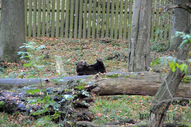 Braunbär Wisentgehege Springe