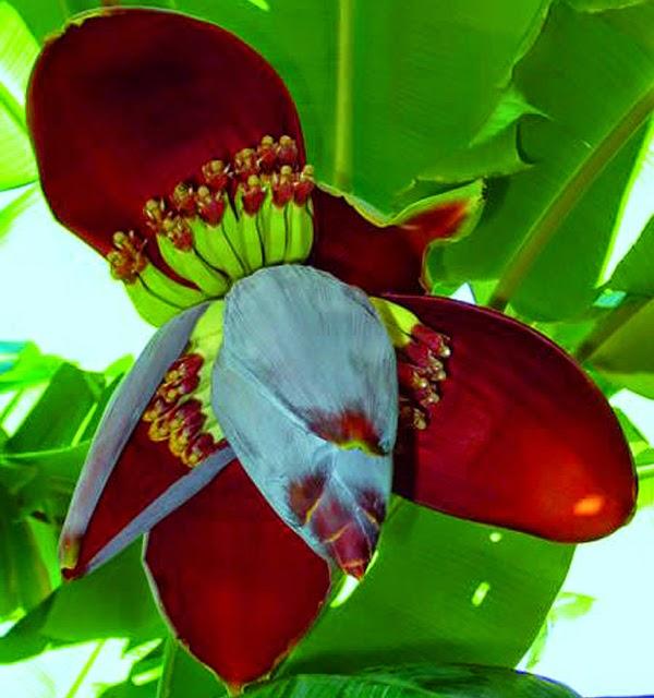 Trị bệnh đau dạ dày bằng hoa chuối
