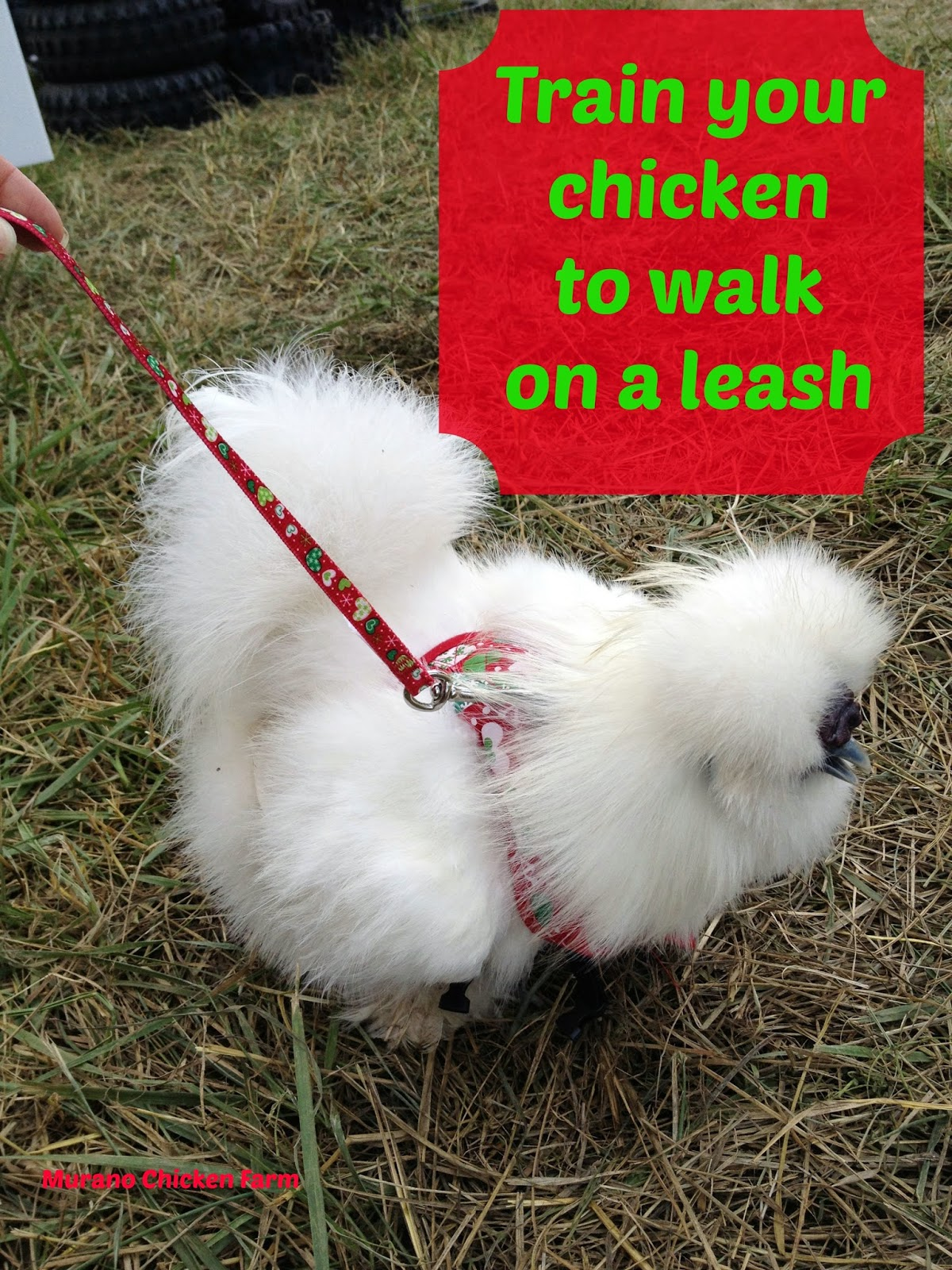 train your chicken to walk on a leash!
