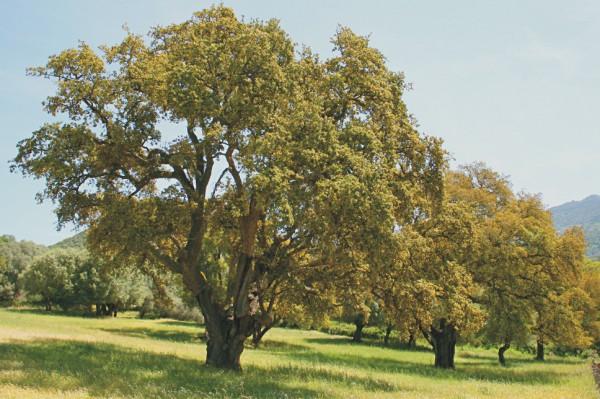 Pianta di quercia da sughero - Sughero pianta da giardino ...